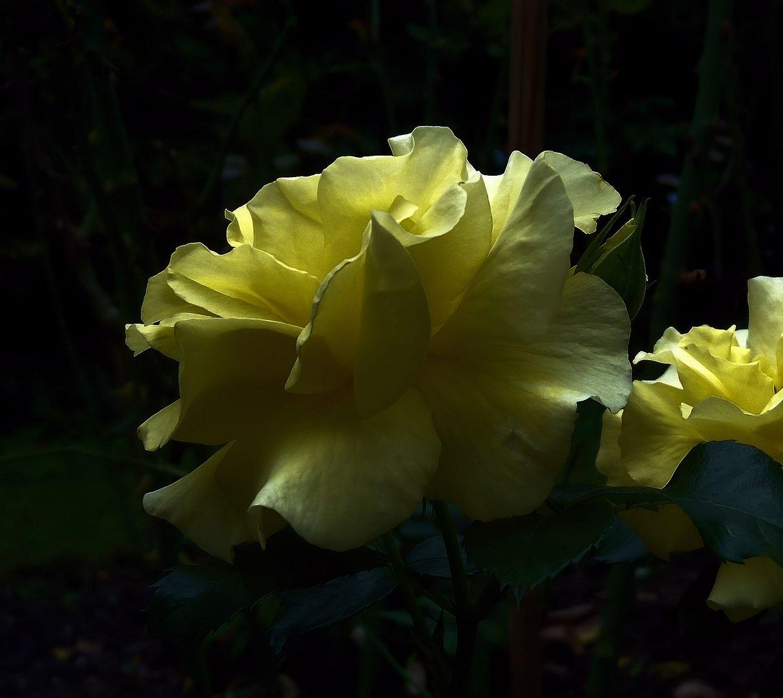 gelbe rose im abendlicht