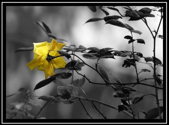 Gelbe Rose im Innenhof