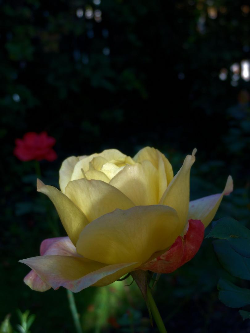 gelbe rose im morgenlicht