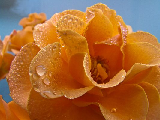 Gelbe Rose mit Tropfen