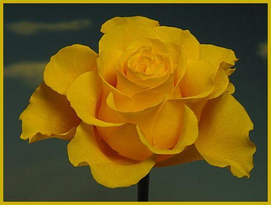 gelbe Rose nach Frostschaden