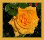 gelbe Rose spürt minütlich abwechselnd: starker Wind, Sonne, Regenguss,