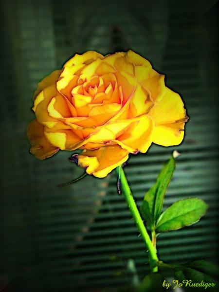 Gelbe Rose vor der Jalousie