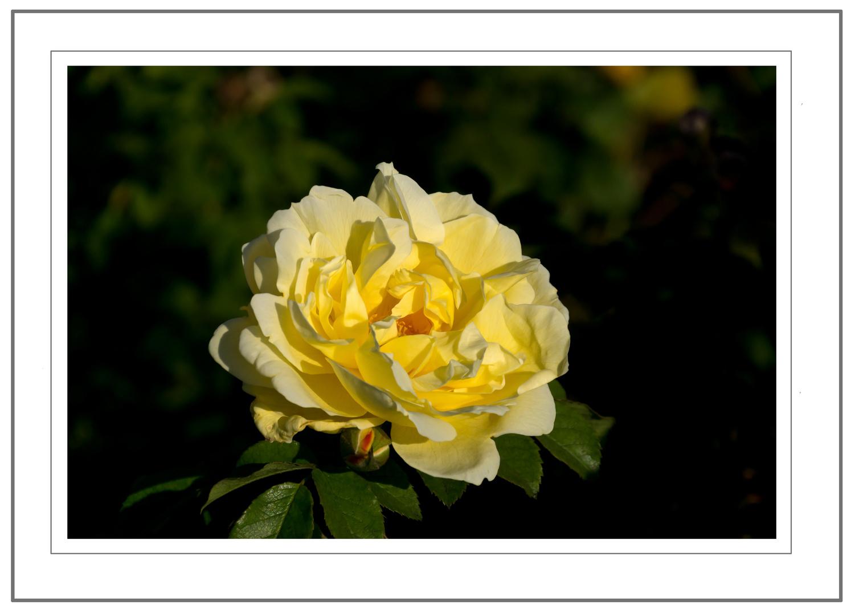 Gelbe Rose zum Wochenende