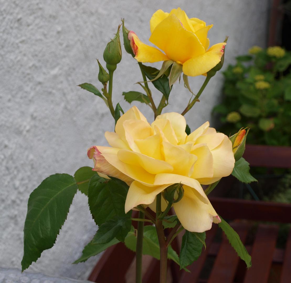gelbe rosen foto bild pflanzen pilze flechten bl ten kleinpflanzen rosen bilder auf. Black Bedroom Furniture Sets. Home Design Ideas