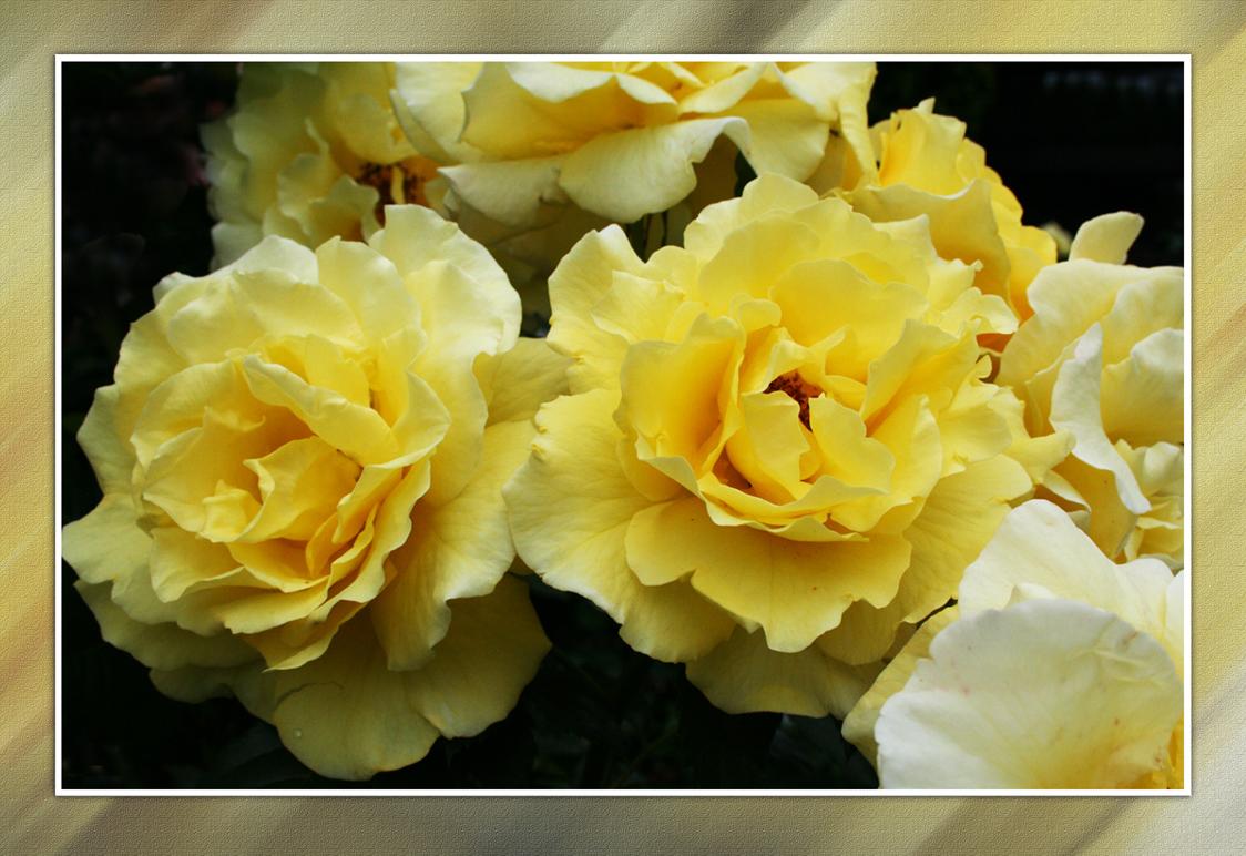 gelbe rosen foto bild pflanzen pilze flechten. Black Bedroom Furniture Sets. Home Design Ideas