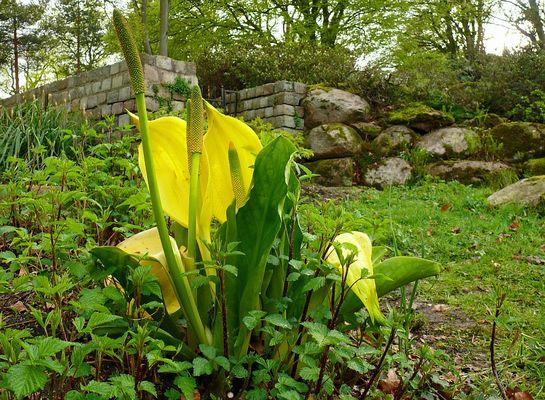 Gelbe Scheincalla