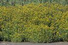 Gelbe Schilfblumen