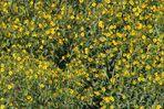 Gelbe Schilfblumen / Ausschnitt