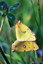 Gelbe Schmetterlinge