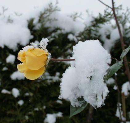 Gelbe Schneereose