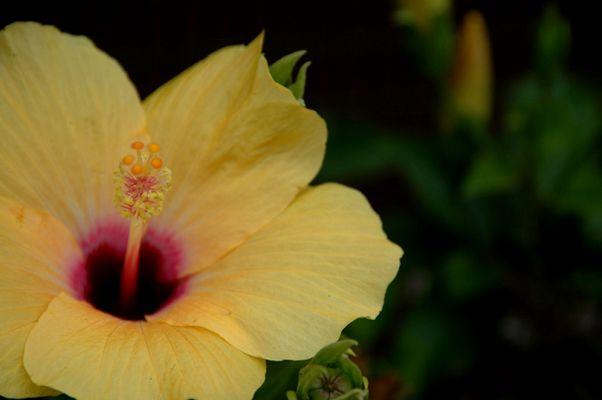 Gelbe Schönheit