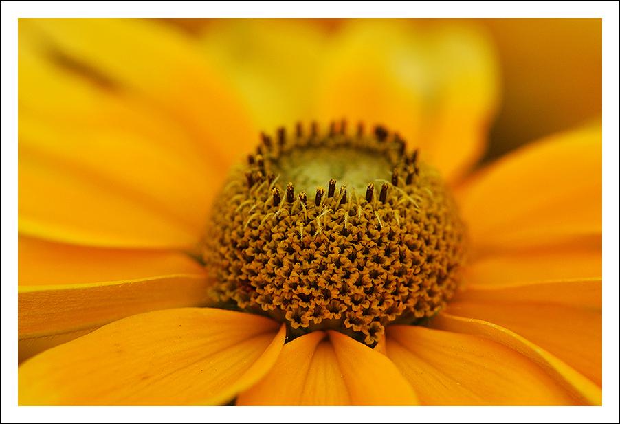 Gelbe Schönheit.