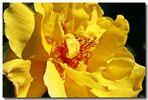 gelbe Schönheit, 1