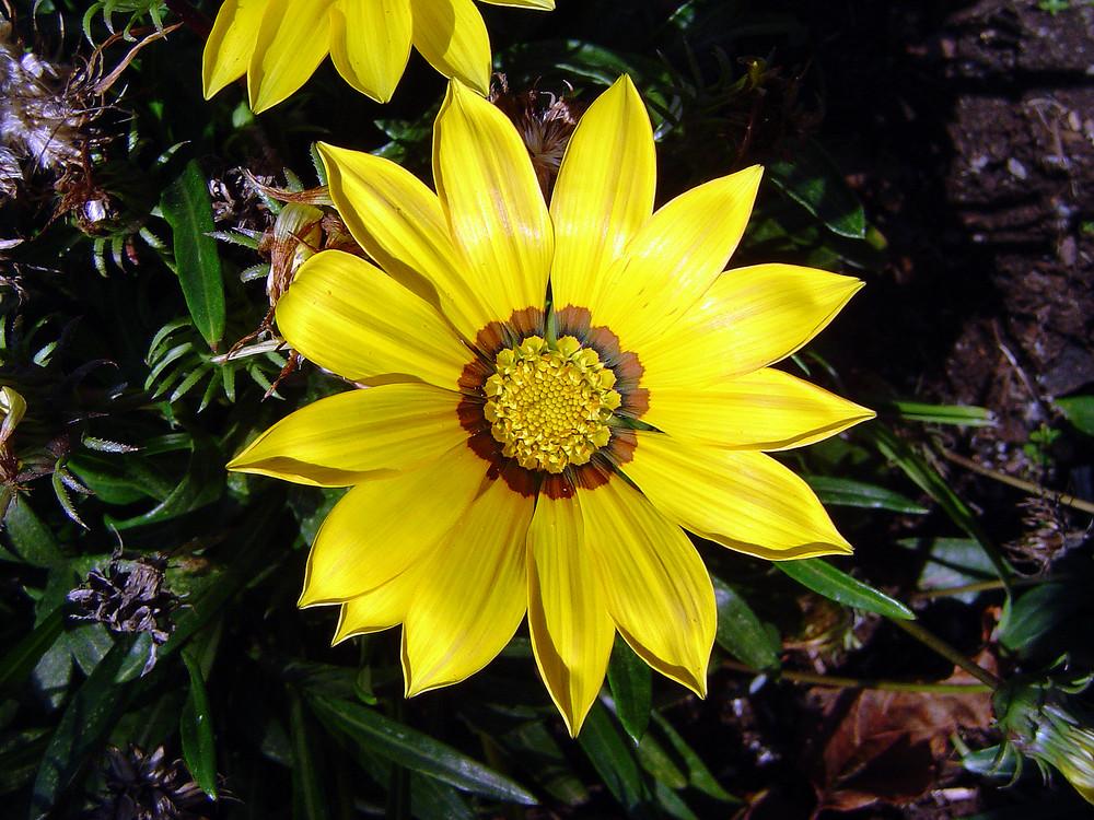 gelbe Schönheit #1