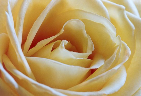 Gelbe Schönheit (2)