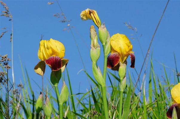 gelbe Schwertlilie - Mondhalde - Kaiserstuhl