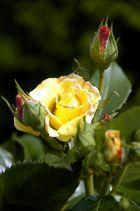 Gelbe Sinfonie