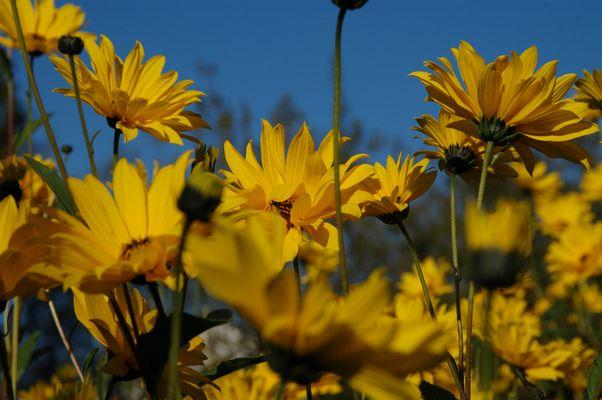Gelbe Sommerblumen