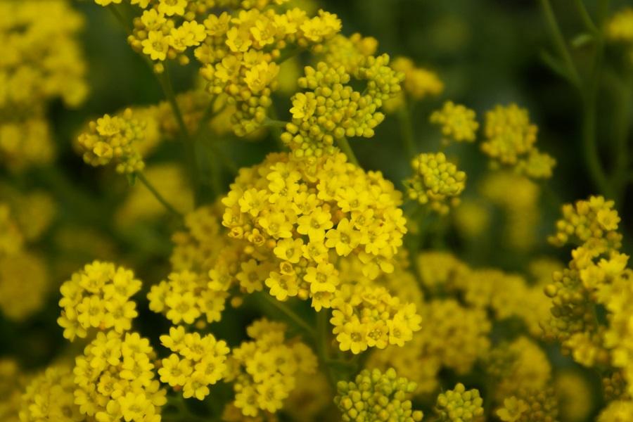 gelbe Steingartenpflanze