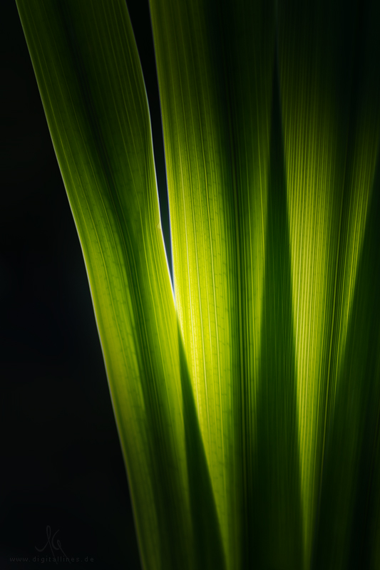 Gelbe Sumpf-Schwertlilie