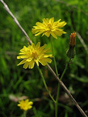 gelbe Tupfen