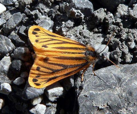 Gelber Alpenflechtenbär am Ortler
