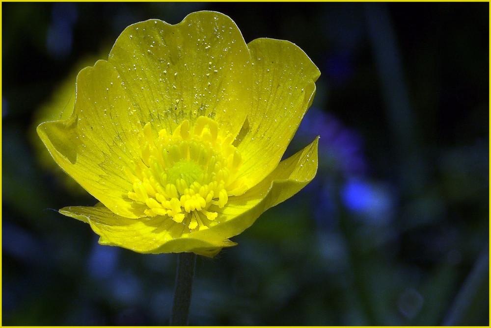 Gelber Blüher