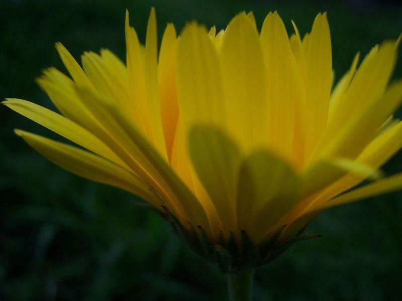 Gelber Blumen