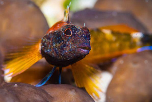 Gelber Dreiflossen-Schleimfisch