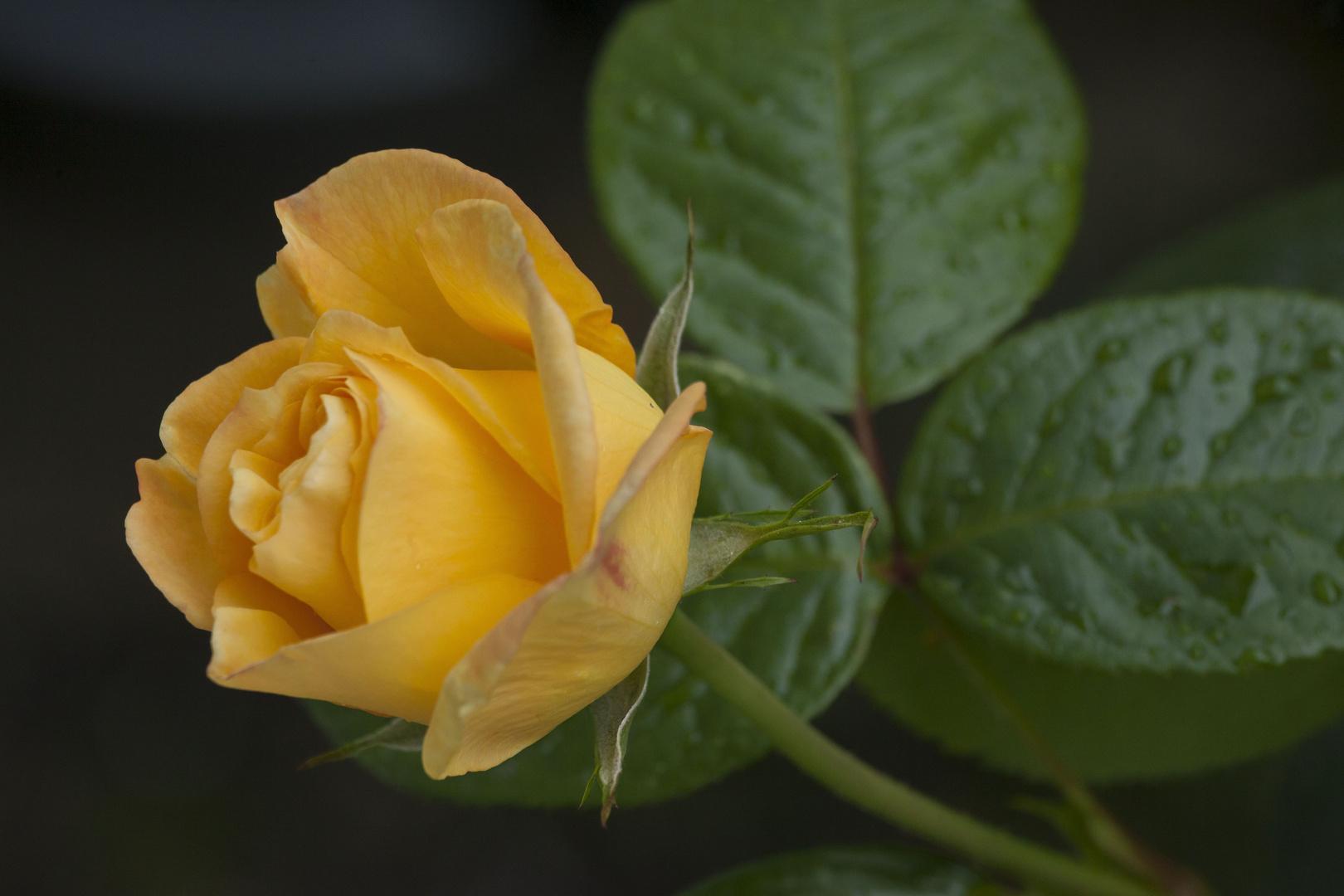Gelber Duft