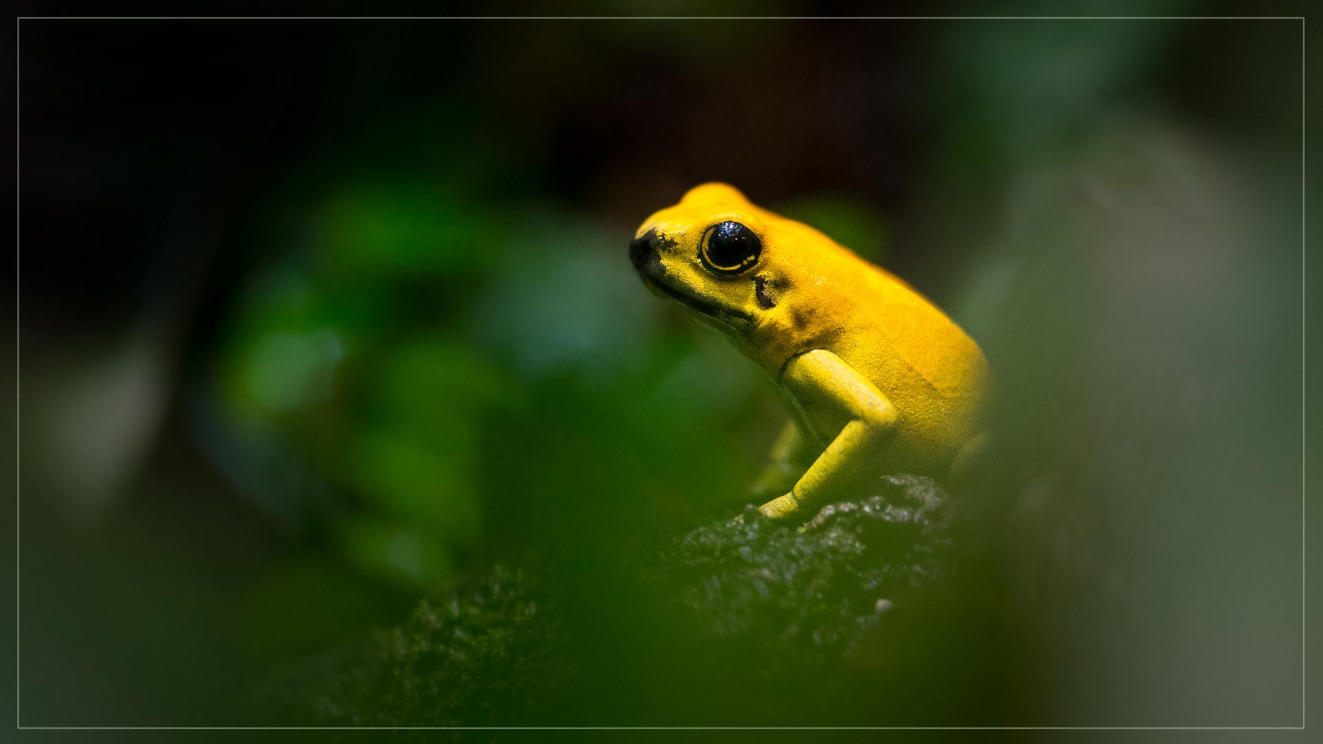 Gelber Giftfrosch
