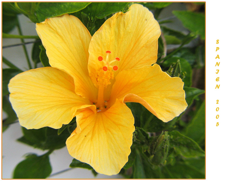 gelber hibiskus foto bild pflanzen pilze flechten bl ten kleinpflanzen. Black Bedroom Furniture Sets. Home Design Ideas