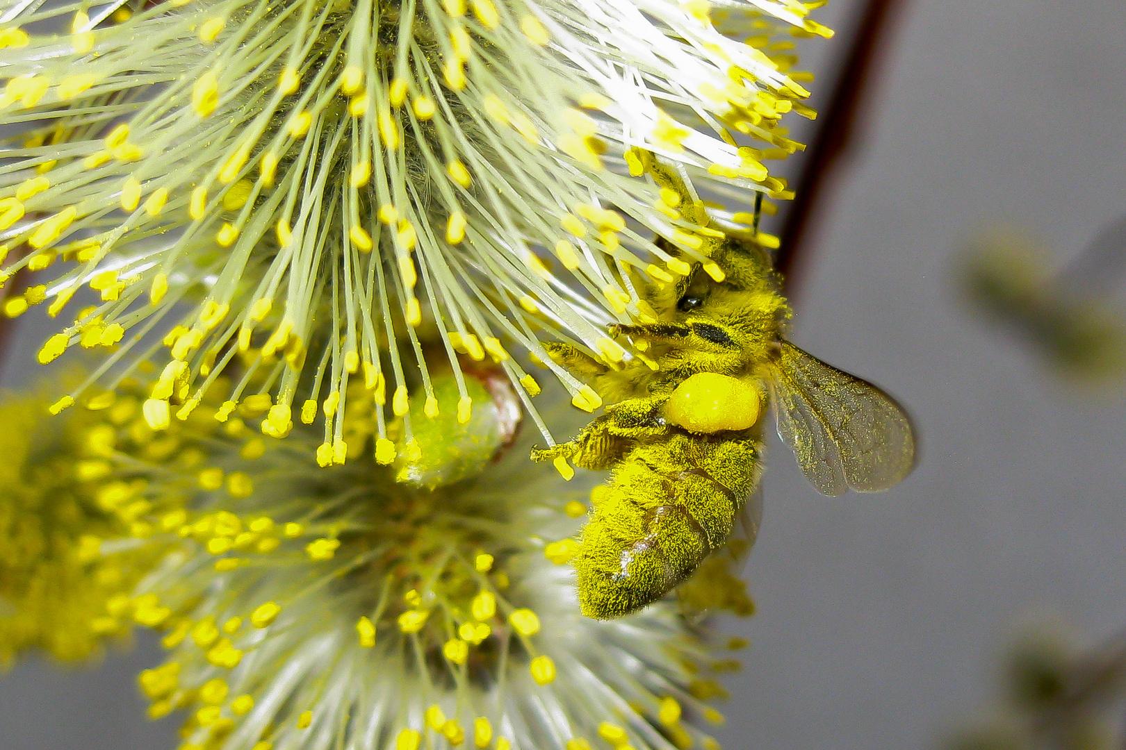gelber Insektentraum