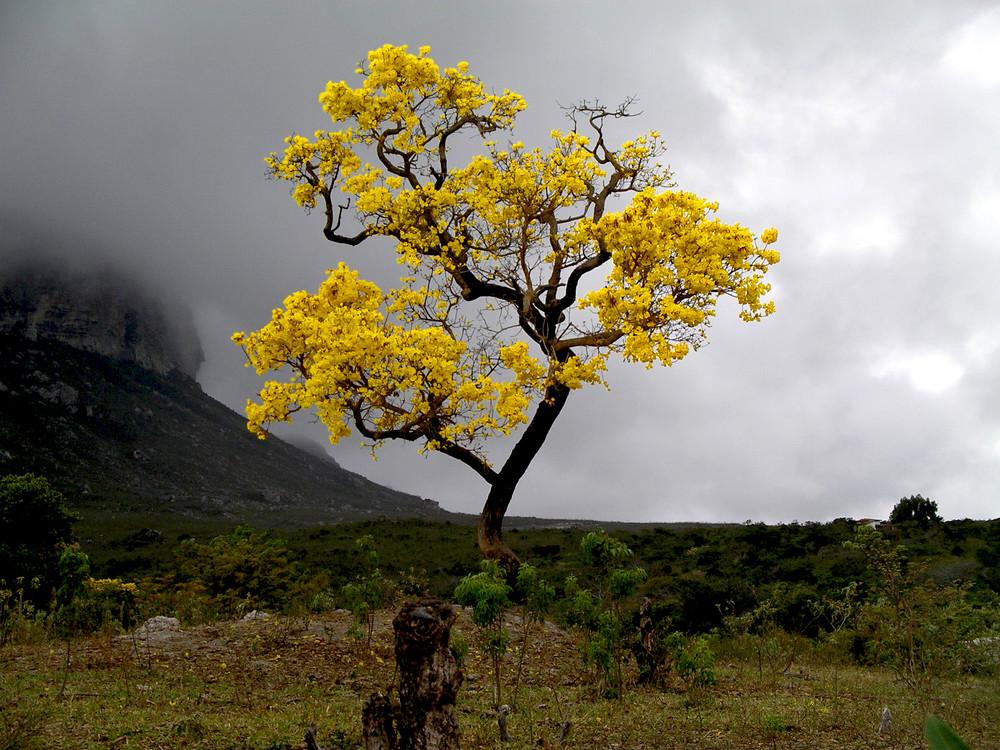 Gelber Jacaranda vor dem Regen