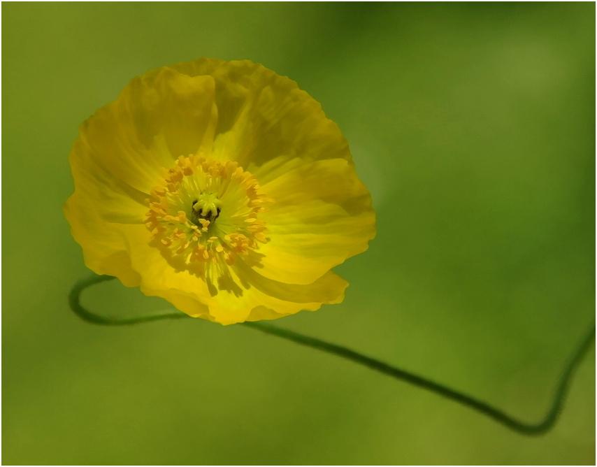 gelber Mohn mit grünem Hintergrund