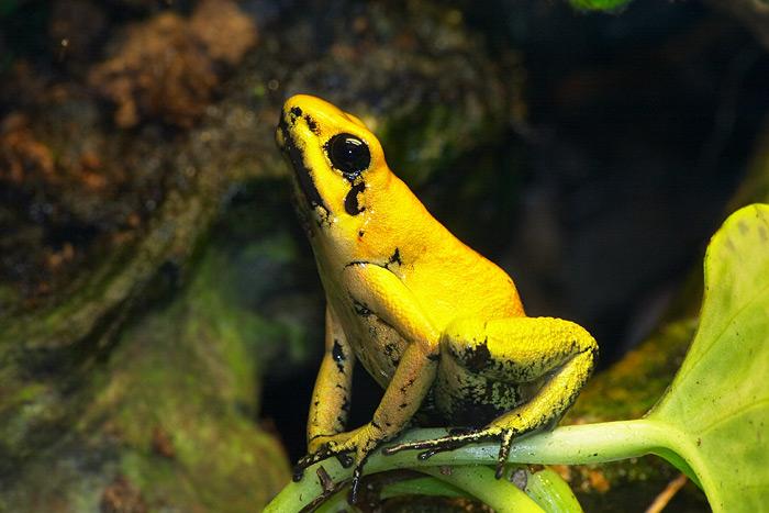 Gelber-Pfeilgiftfrosch, hochgiftig.