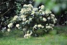 Gelber Rhododendron