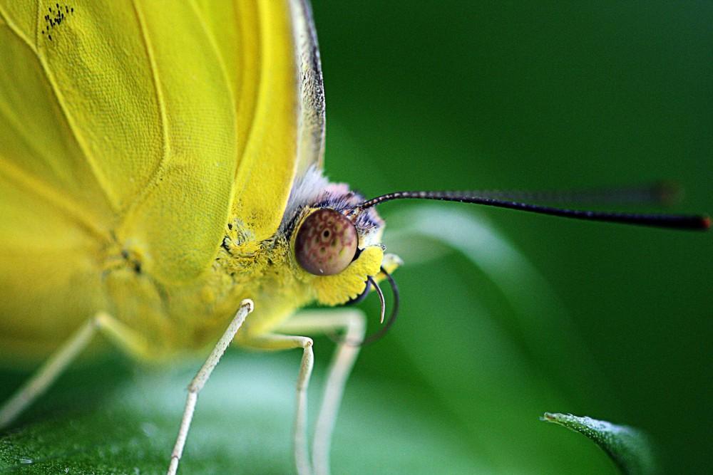 Gelber Schmetterling_quer