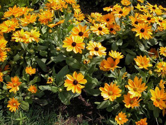 Gelber Sonnenhut - Rudbeckia