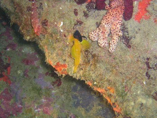 Gelber Spitzkopf Schleimfisch (Tripterygion delaisi)