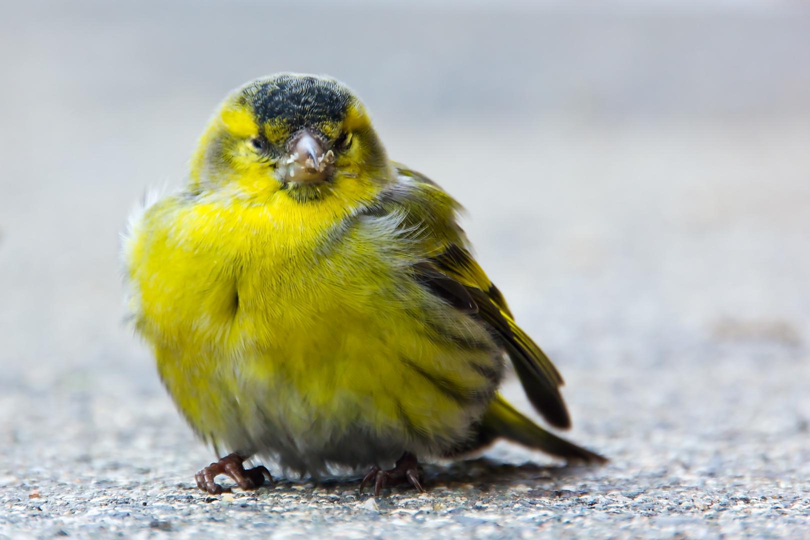 Gelber Vogel - vermutlich ein Zeisig