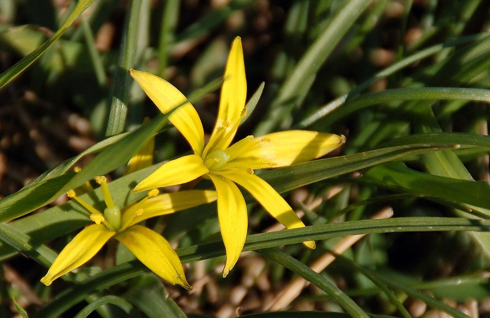 Gelber Wiesenstern