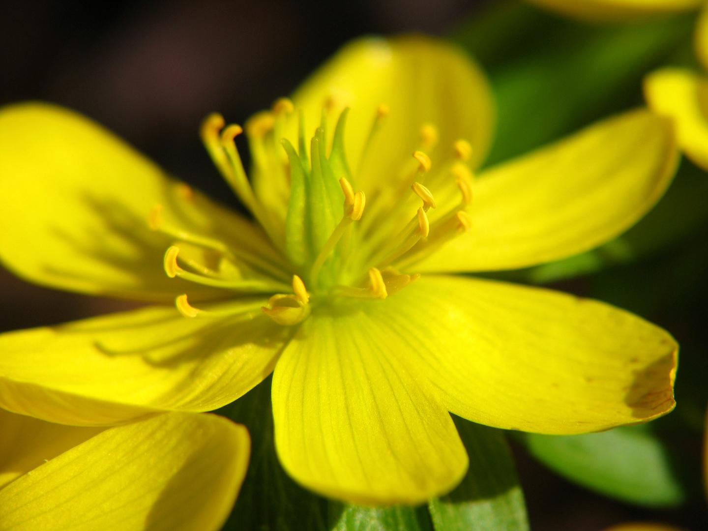 Gelbes Blütenwunder