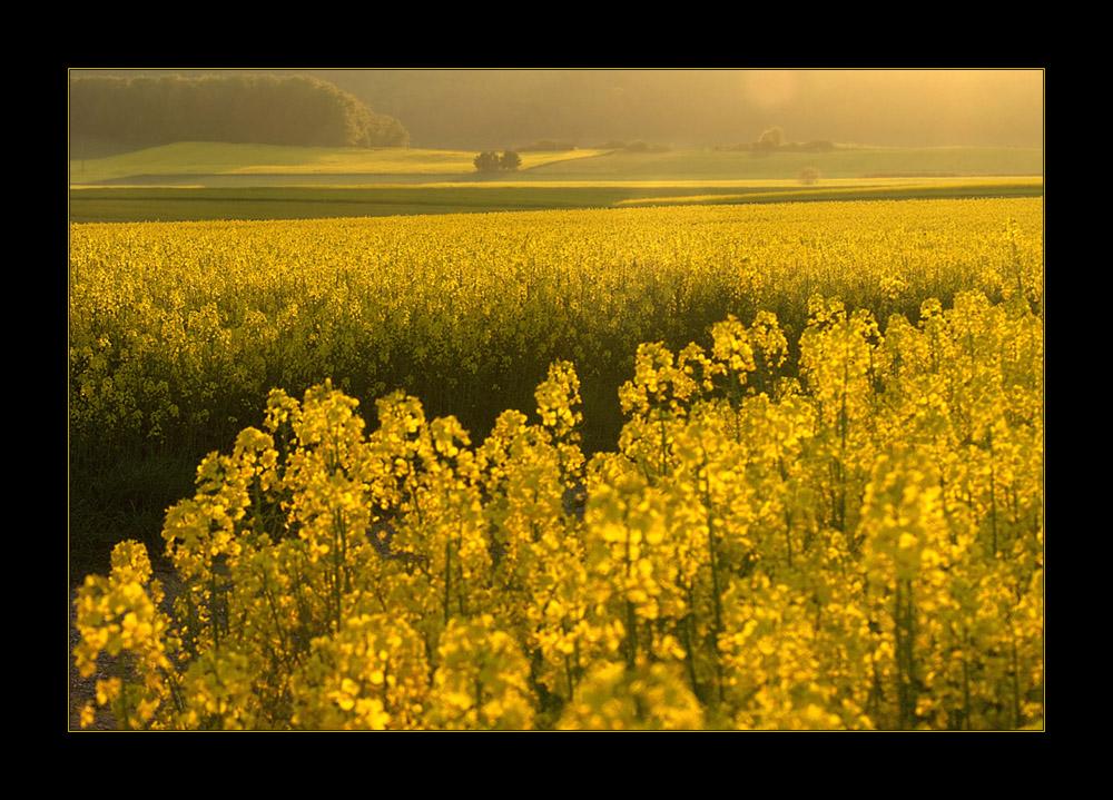Gelbes Land von raps-gelbem Licht  durchstrahlt... (11. DER REIHE: WAS MAN MIT RAPS...)