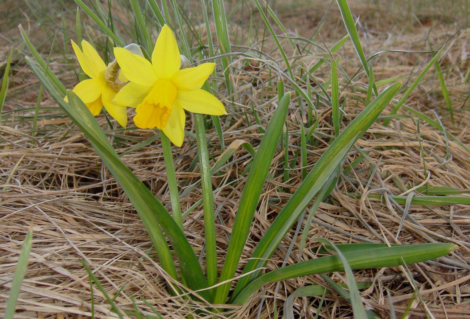 gelbes Mittwochsblümchen