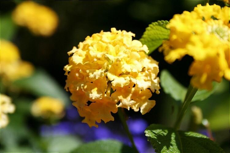 Gelbes Plümchen