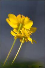 gelbes Windröschen - Anemone ranunculoides