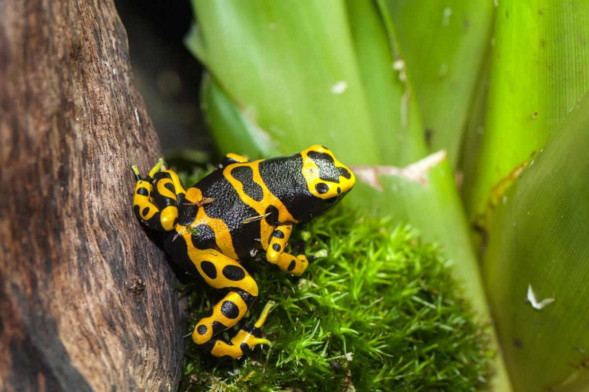 Gelbgebänderter Baumsteiger _ Dendrobates leucomelas