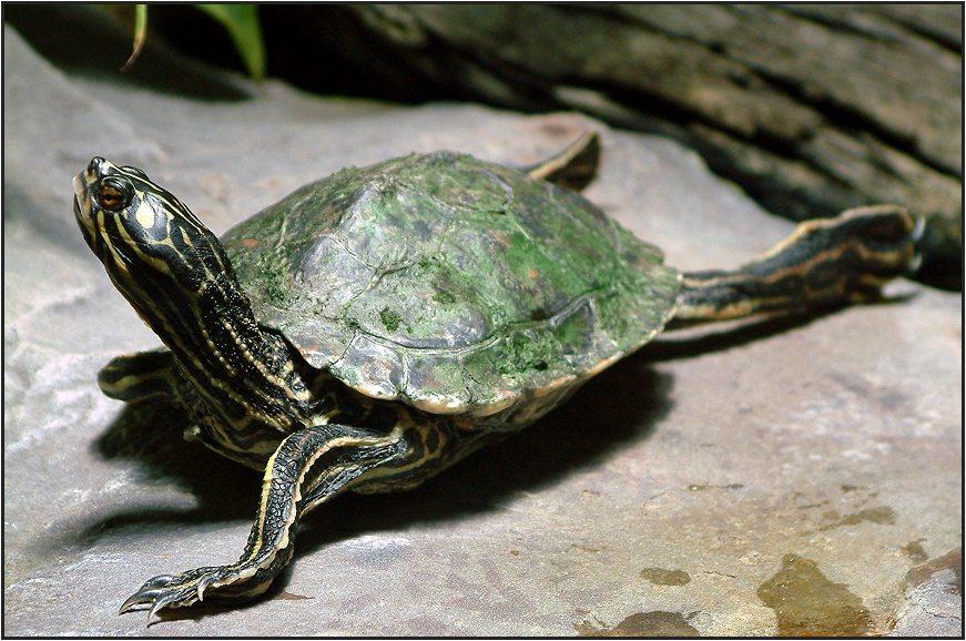 Gelbgefleckte Höckerschildkröte